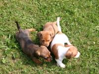 I have 3 male mini dachshund puppy's for sale. The