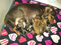 CKC Mini Dachshunds. 4 males & 2 females. All Colors