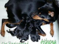 Ckc Miniature Doberman Pinscher puppies. Born:
