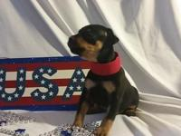 Our Miniature Pinscher Puppies are tan & & black.