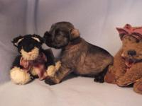 New litter of CKC Miniature Schnauzer puppies out of