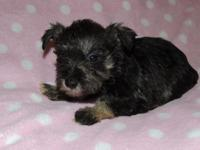 CKC Miniature Schnauzers almost ready to go to their