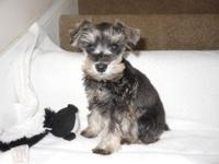 Beautiful Mini Schnauzer puppies. CKC reg. tails docked