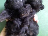 very cute CKC Miniature/Toy Poodles looking for a good