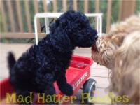 Miniature poodle puppies for sale in northern Arizona.