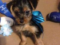 For Sale Cute CKC Registered Yorkie-Pins. Certified