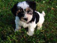 Harper is a CKC Morkie. Harper is an ideal mixture of