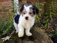 Simba is a CKC Morkie, a designer breed of Yorkshire
