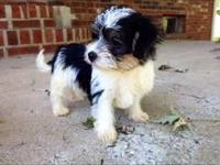 Tiny is the shortest of his litter. Tiny is a Morkie, a