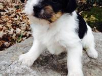 Walter is a tri-color Morkie, a best blend of Maltese