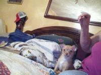 I HAVE TWO CKC FEMALE CHIHUAHUAS. THE MOTHER IS TWO