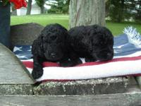 We are providing 9 CKC multi-generation labradoodle