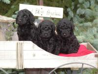 CKC multi-generation labradoodle puppies-currently 7