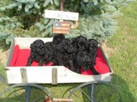 CKC multi-generation labradoodle puppies-currently 4.5