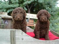 We are offering CKC multi-generation labradoodle