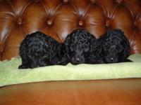 We are offering 3 CKC multi-generation labradoodle