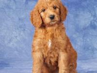 Beautiful multigenerational Goldendoodles due to be