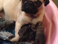 Adorable pug puppies born on 12-26- 2014 all puppies