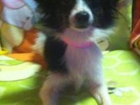 CKC Papillon lady. She is 2 years of ages and is