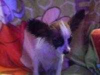 CKC Papillon new puppy. He is quite pleasant and