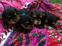 CKC registered Parti carrier yorkie puppies. Dad is