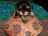 Parti colored CKC Yorkie male puppy. Very loving and