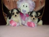 We have 2 lovable little Parti Morky kids available.