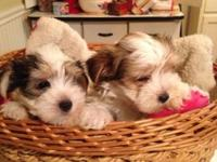 We have boy & girl Parti Morky babies available. DOB