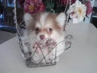 Ckc registered parti pom. Female. Toy size. $400 she's