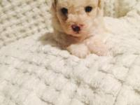 I have a litter of parti poodle puppies for sale.. They