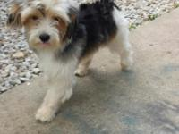 buddy he is a party Yorkie he is super sweet and loving