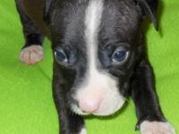 CKC Pitt Bull pup. born 2/1/2014. Papa is a razor blade