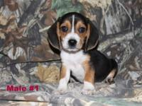 Bella had baby Pocket Beagles! These puppies are