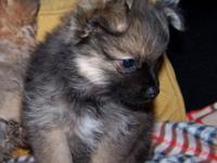 I have a male Pom-Chi, was born 7-6-14 will certainly