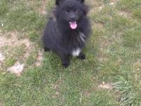 Baby Bear is an 8 month old black CKC Pomeranian. He