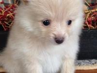 CKC Pomeranian, Female, UTD on shots and wormings!