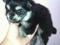 I have 1 black and cream male Pomeranian for sale. He's