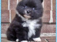 This little Pom boy was born on 04/17/20 and is ready