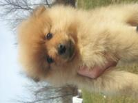 I have ckc certified Pomeranian puppies. Raised in my