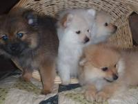 Adorable teenie tiny CKC Pomeranian puppies are now 9