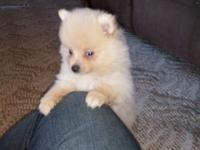 For sale 2 female white Pomeranian puppies...utd on