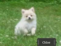 Chloe and Miley, are two very sweet female Pomeranian