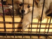 I have CKC Registered Pomeranian Puppies for sale. They