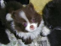 I have up for sale Adorable Male Pomeranian Puppies.