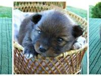 Pomeranian puppies for sale. All are CKC registered.