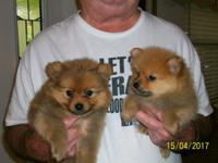 CKC POMERANIAN PUPPIES, WE HAVE TWO LITTERS READY