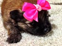 JUST IN TIME FOR CHRISTMAS!!! 3 Pom puppies will be six
