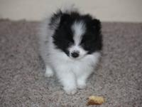 CKC reg. pomeranian puppy born October 6, 2012. Will be