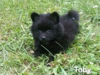 Beautiful black male Pomeranian puppy now available. He