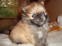 I have 2 male 5 week old CKC Pomeranian pups. Will be